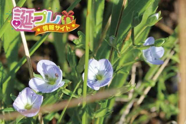 コゴメイヌノフグリの花の画像