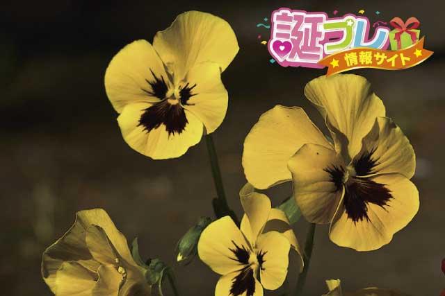 パンジーの花の画像