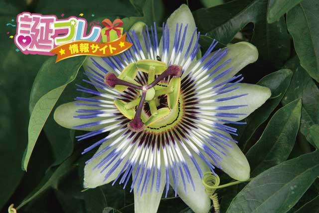 トケイソウの花の画像