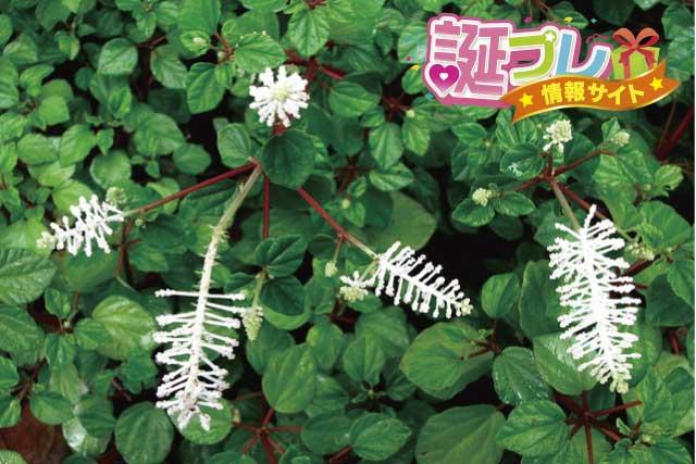 ペペロミアの花の画像