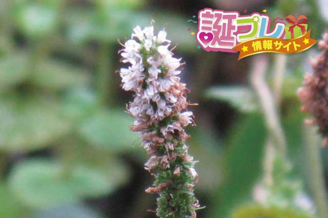 ペパーミントの花の画像