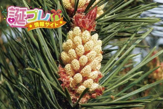 松の花の画像