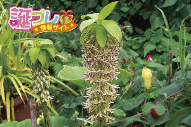パイナップルリリーの花の画像
