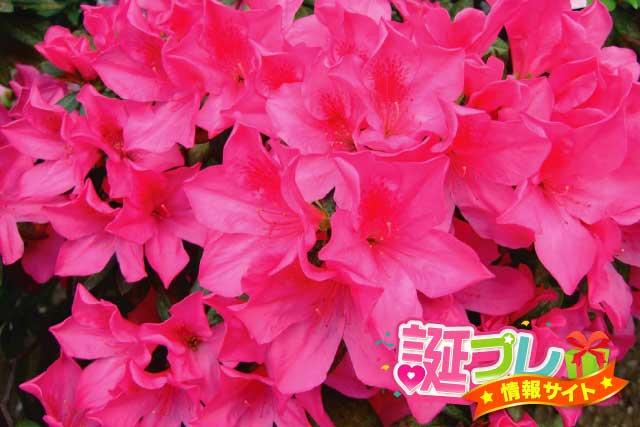 ピンク色のアザレアの画像