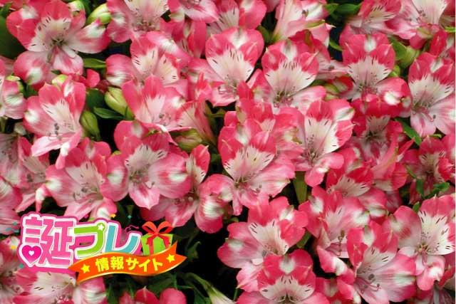 ピンク色のアルストロメリアの画像