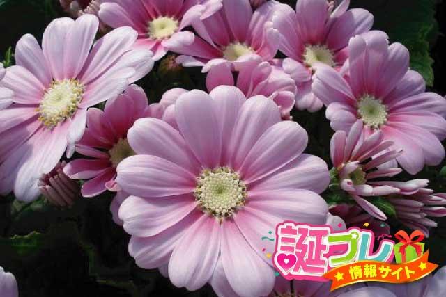 ピンク色のサイネリアの画像