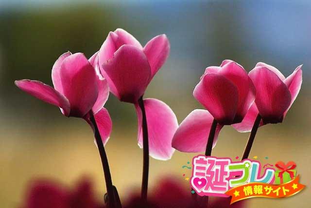ピンク色のシクラメンの画像