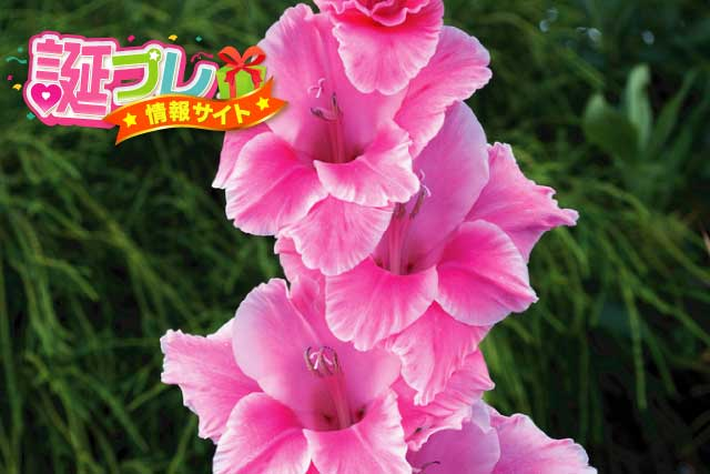 ピンク色のグラジオラスの画像