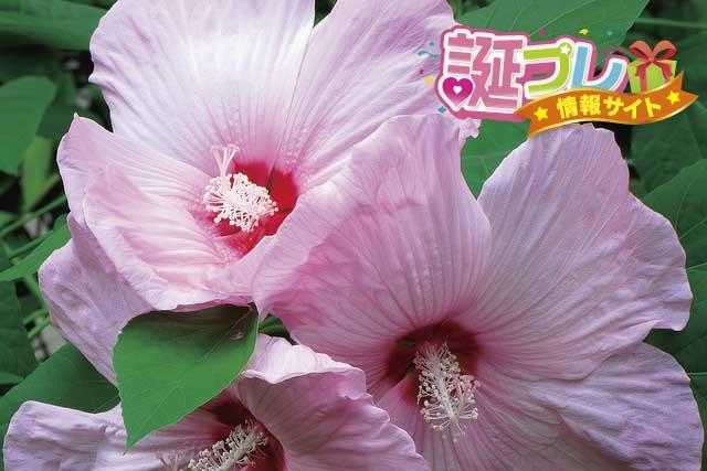 ピンク色のハイビスカスの画像