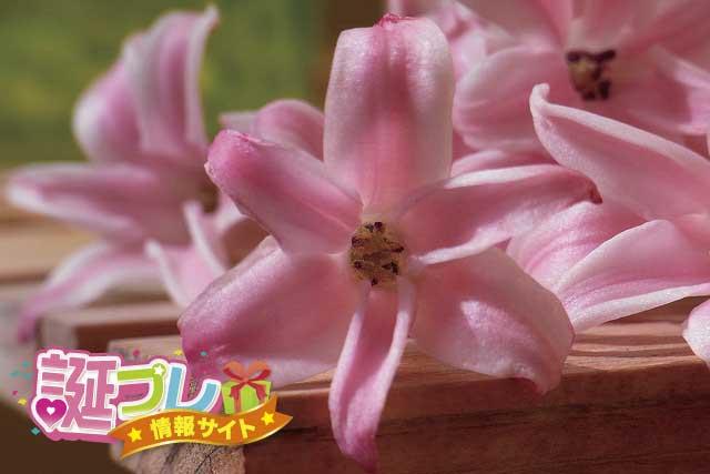 ピンク色のヒヤシンスの画像