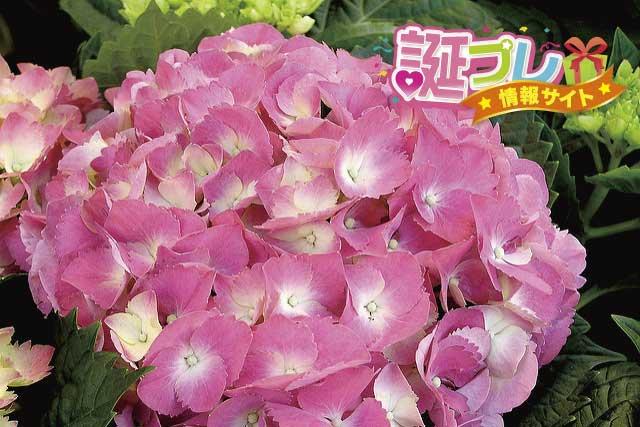ピンク色の紫陽花の画像