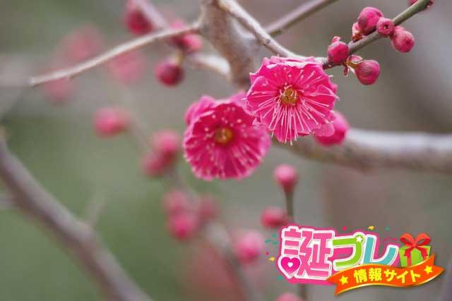 ピンク色の梅の画像