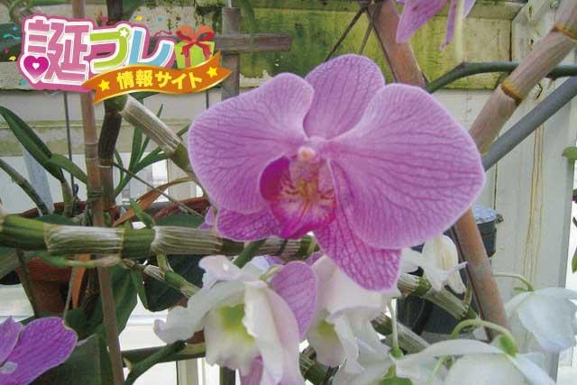 ピンク色の胡蝶蘭の画像
