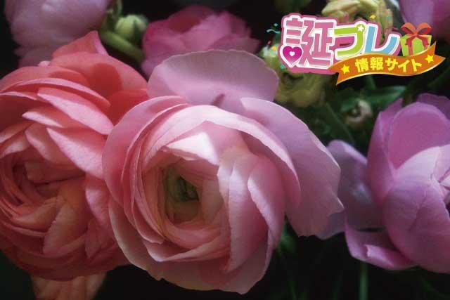 ピンク色のラナンキュラスの画像