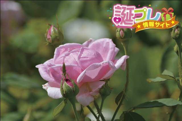 ピンクの薔薇の画像
