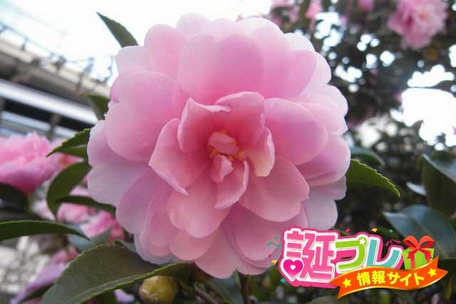 ピンク色の山茶花の画像
