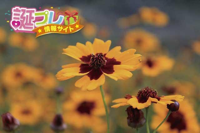 ハルシャギクの花の画像