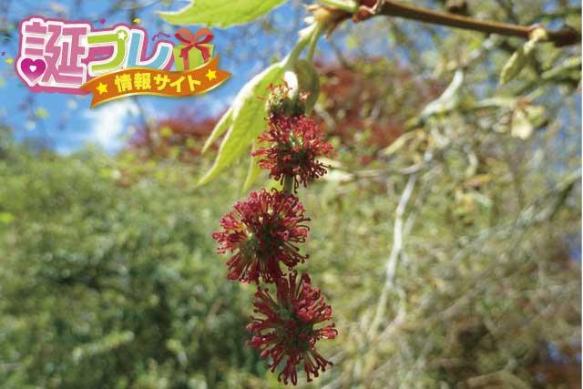 プラタナスの花の画像