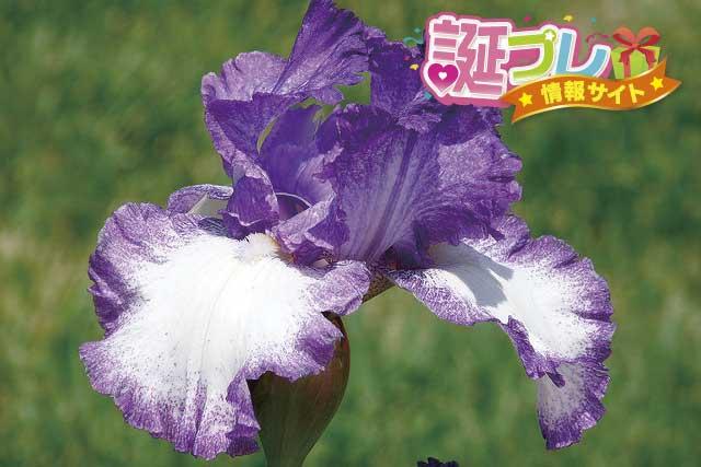 アイリスの花の画像