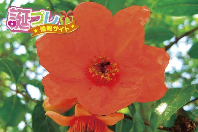 ザクロの花の画像