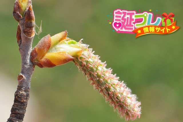 ポプラの花の画像