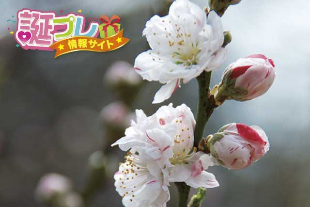 源平桃の画像