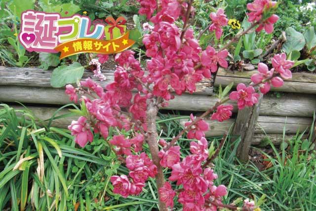 寒緋桃の画像
