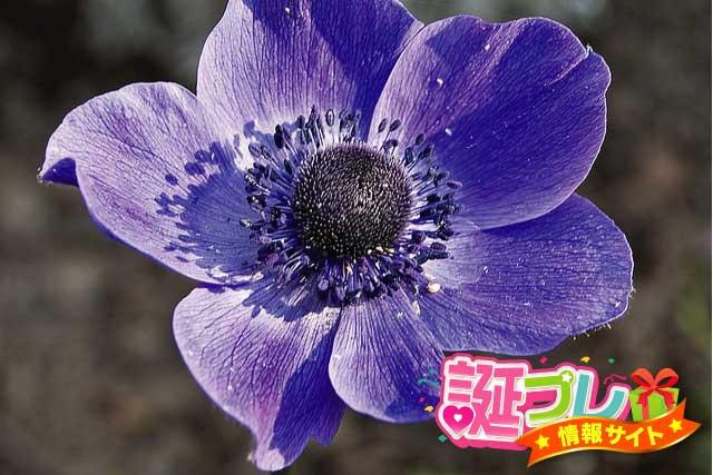 紫色のアネモネの画像