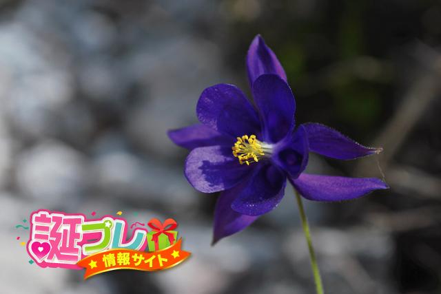 紫色のオダマキの画像