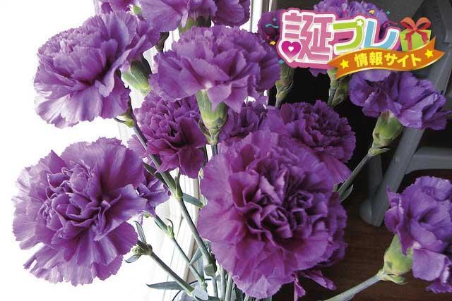 紫のカーネーションの画像