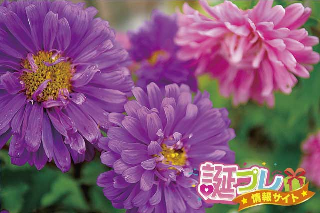 紫色のアスターの画像