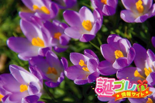 紫色のクロッカスの画像