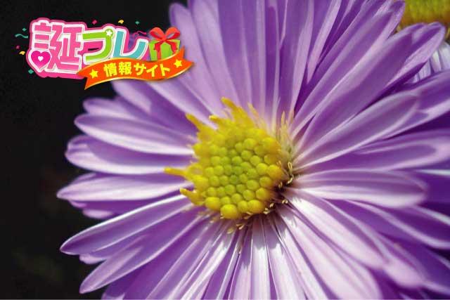 紫色のデイジーの画像