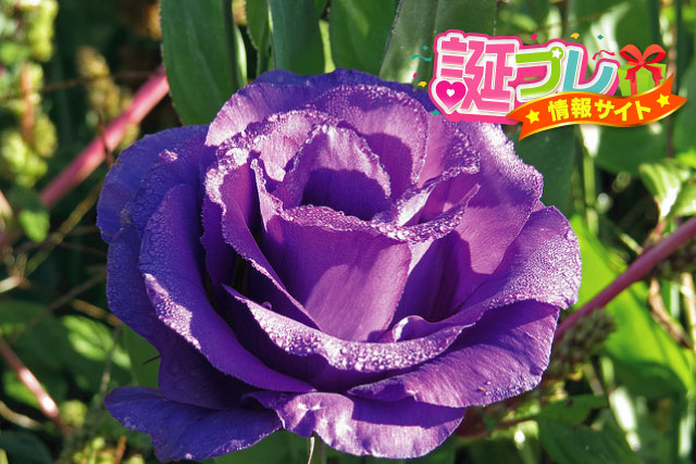 紫色のトルコキキョウの画像