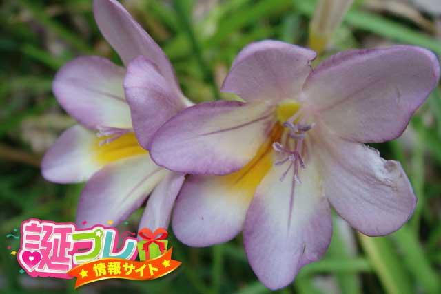 紫色のフリージアの画像