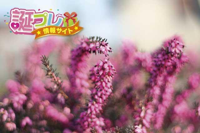 紫色のエリカの画像