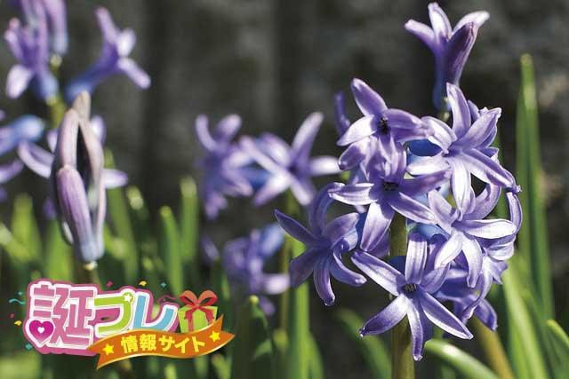 紫色のヒヤシンスの画像