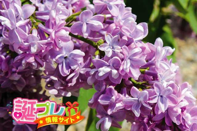 紫色のライラックの画像
