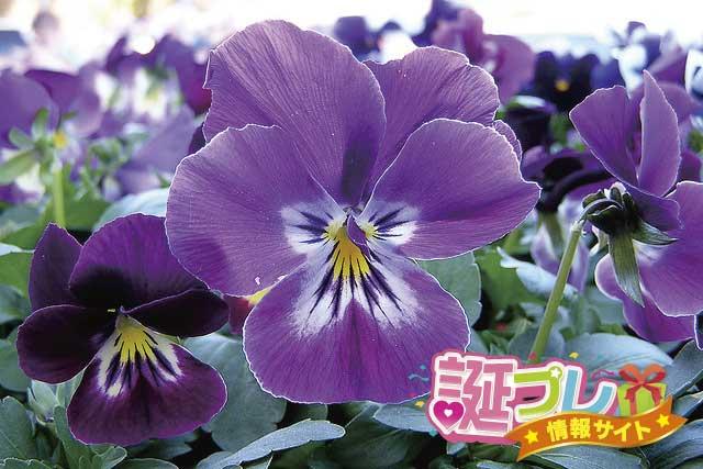 紫色のパンジーの画像