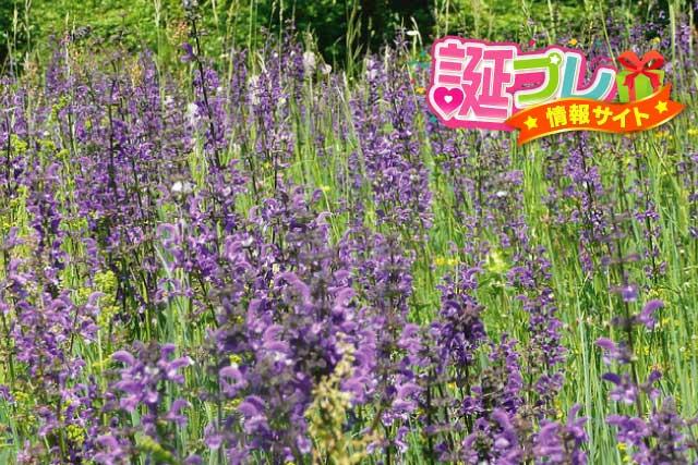 紫色のサルビアの画像