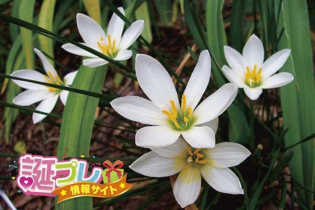タマスダレの花の画像