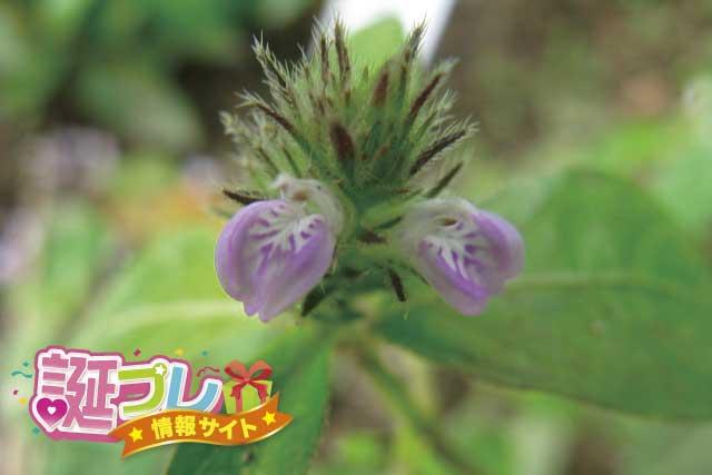 キツネノマゴの花の画像