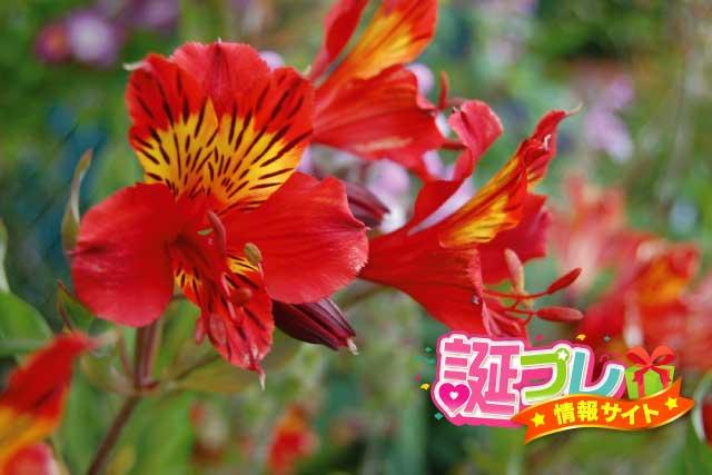 赤色のアルストロメリアの画像