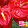 花の色で意味が変わるアンスリウムの花言葉5語