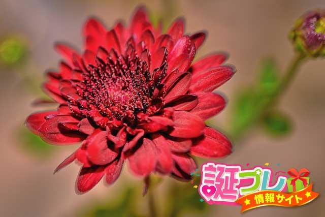 赤色の菊の画像