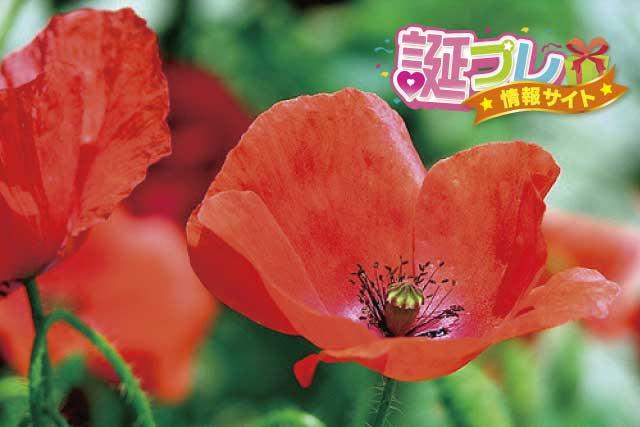 赤色のヒナゲシの画像