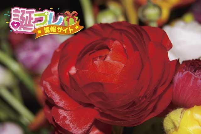 赤いラナンキュラスの画像