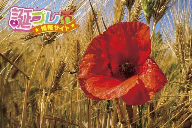 赤色のポピーの画像