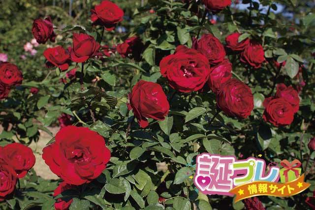 赤い薔薇の画像