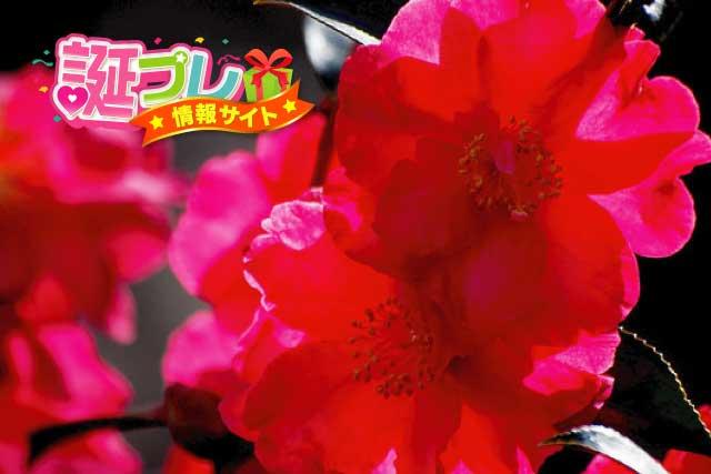 赤色の山茶花の画像